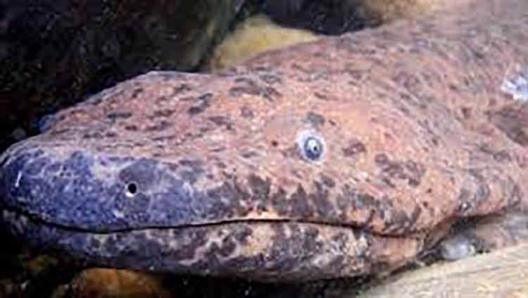 Sin embargo, en teoría sólo se permite el consumo de estos anfibios si han sido criados en cautividad