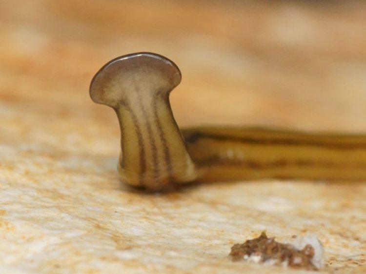 Un diversibipalium, hallado en Francia,con la cabeza en alto. (Pierre Gros CC-BY 4.0)