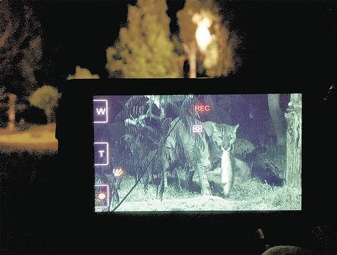 Caza. Un puma visto por una cámara, en versión anterior.