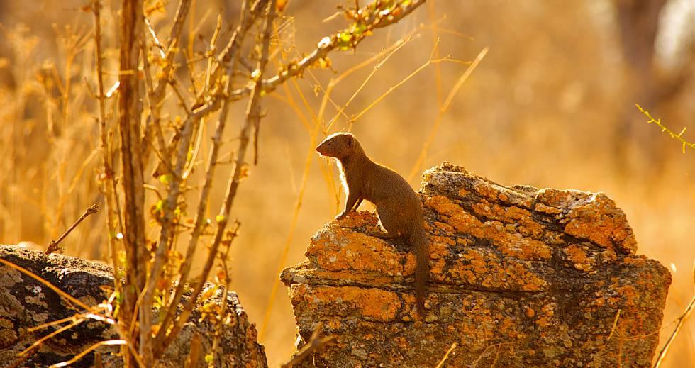 Una mangosta enana durante su turno de centinela comprueba que no se acerquen depredadores a su grupo.