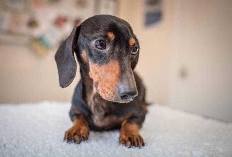 Trevor, recuperado (Willows Veterinary Group)