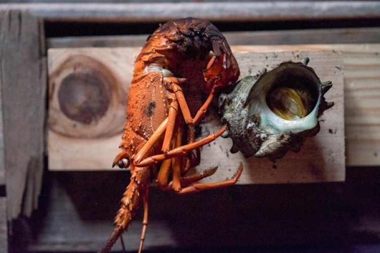 La cigala es un crustáceo de agua dulce similar a la langosta (foto), aunque más pequeña