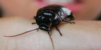 Un hombre de Florida relata cómo escuchó morir a una cucaracha dentro de su oreja