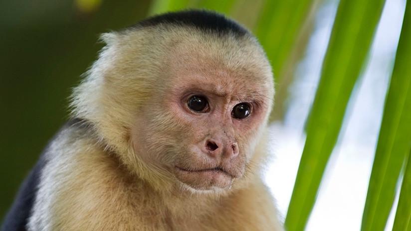 Monos panamenos dan signos de iniciar su propia Edad de Piedra