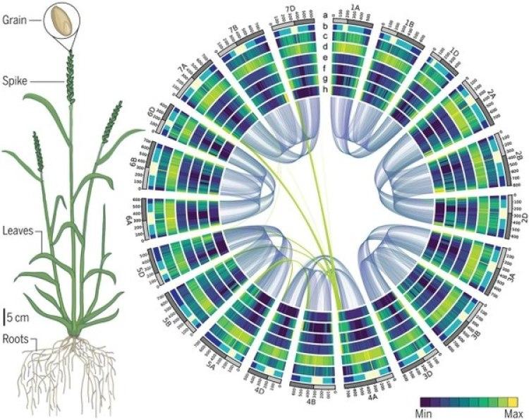 El genoma del trigo descifrado, ensamblado y ordenado. Las semillas, o grano, es lo que cuenta con respeto al rendimiento del cereal, pero todas las partes de la planta contribuyen al desempeño del cultivo (izquierda). Con el acceso a la secuencia de los 21 cromosomas del trigo, el contexto de secuencias regulatorias y la red de interacción de los genes expresados (derecha), los criadores e investigadores ahora tienen la capacidad de reescribir la historia del mejoramiento del cultivo del trigo (Science)
