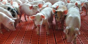 "Porcicultores piden evaluación ""puntual"" por sectores para pago del doble aguinaldo"