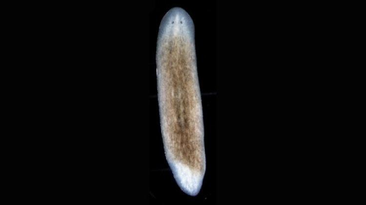 Gusano o planaria sin fibras circulares: Se regenera, pero duplica el eje medio. Regenera inadecuadamente y produce siameses. (Instituto Whitehead para Investigación Biomédica)