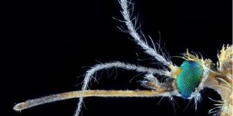 Mosquitos: transmisión de enfermedades peligrosas