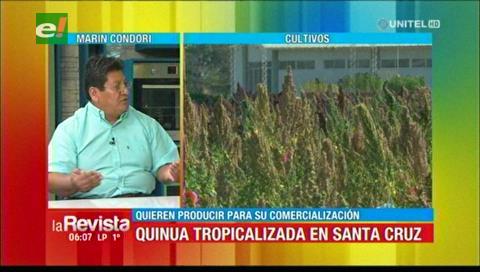 Buscan crear una semilla de quinua tropicalizada para ser comercializada