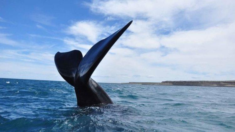 Las ballenas pudieron ser cazadas con barcos de remos y arpones de mano