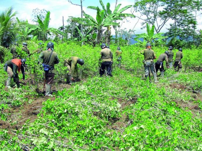 INFORME. Estados Unidos revela que Bolivia tiene mayor cantidad de cultivos de coca y producción de cocaína.