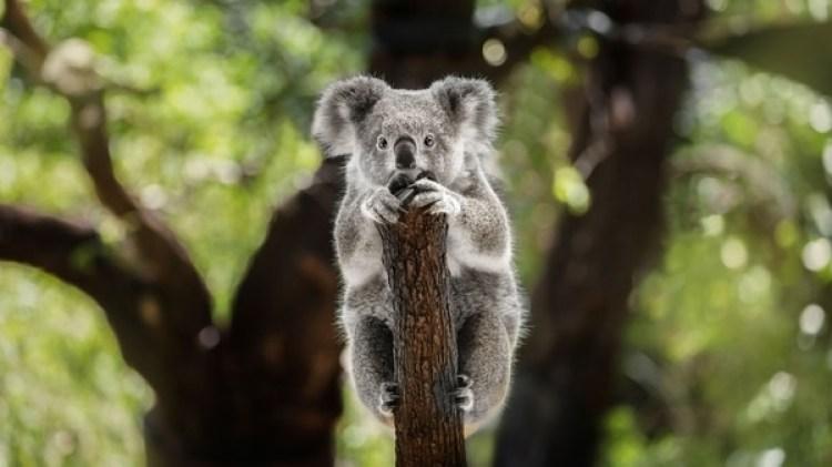 Se estima que quedan menos de 20.000 koalas en Nueva Gales del Sur (Getty Images)