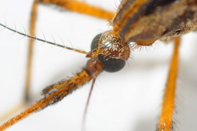 El Psorophora ciliata es también conocido como gallinipper