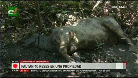 Beni. Ganado muerto después de las lluvias
