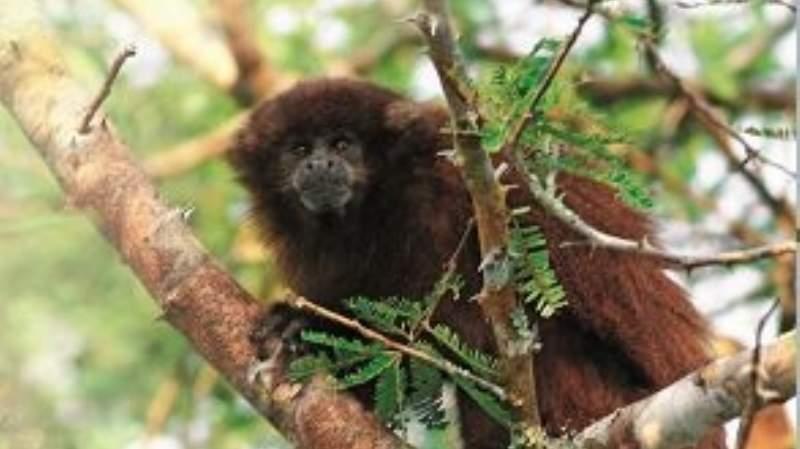 Reyes crea un área para salvar a dos especies de monos amenazadas de Bolivia