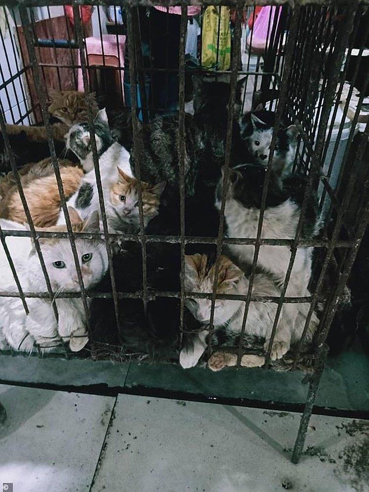Gatos que esperan ser sacrificados en un mercado de Guilin, al suroeste de China. (Gentileza The Daily Mail)