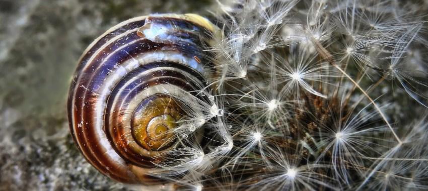 Free fotók: Pitypangot szerető csiga