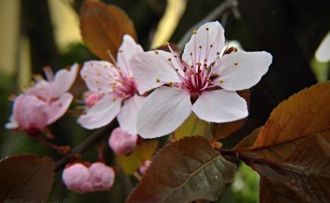 Free fotók: Cseresznyeszilva vagy mirabolán virág (Prunus cerasifera)