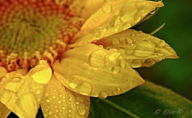 Free fotó: Vízcseppes napraforgó virág háttérkép