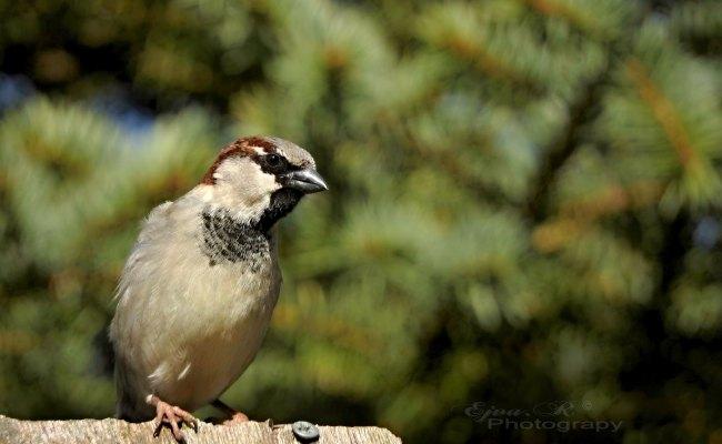 Sparrow, Veréb, Madár letölthető háttérkép