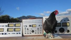 chickenbomb1