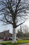 Der weiße Baum