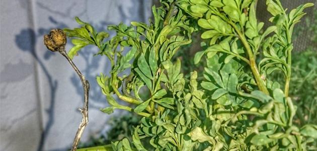 أضرار عشبة الفيجن
