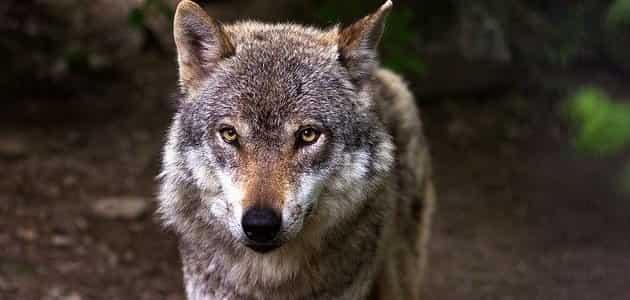 اسم أنثى الذئب
