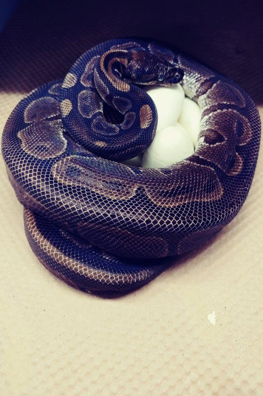 female-python,-62,-at-st.-louis-zoo-lays-7-eggs,-seemingly-without-male