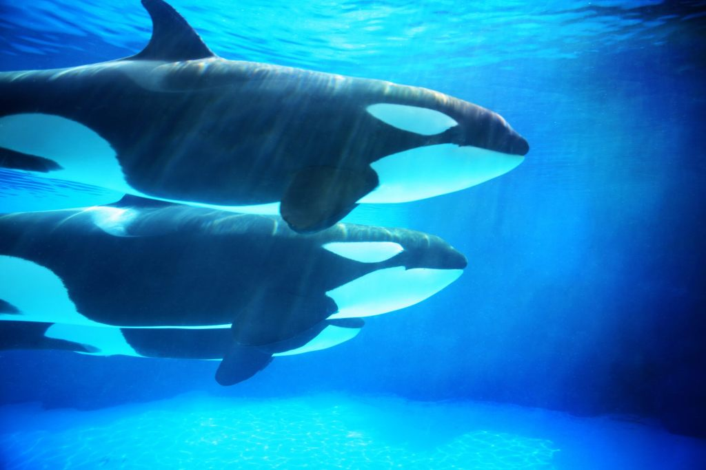 orca-'attacks'-leave-scientists-baffled,-call-reports-'highly-unusual'