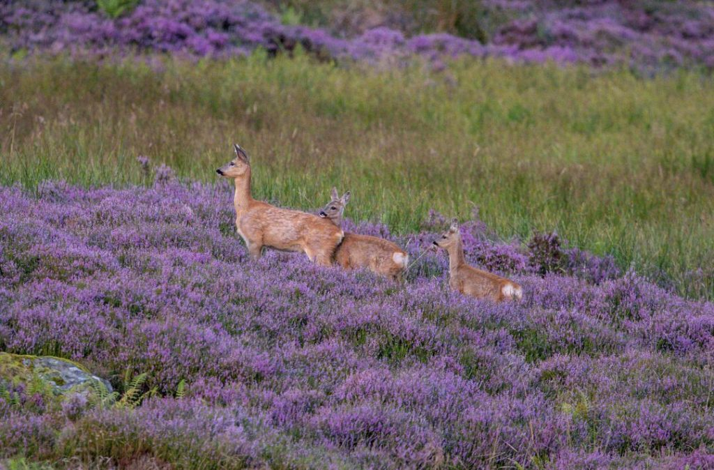 real-life-'bambis'-spotted-with-mother-in-scotland