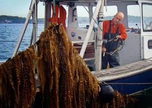 récolte de Kelp en UK dans une ferme