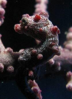 Hippocampe Pygmée - Cliquer pour agrandir