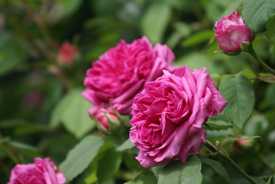 Une Vraie Rose Ancienne Madame Isaac Péreire