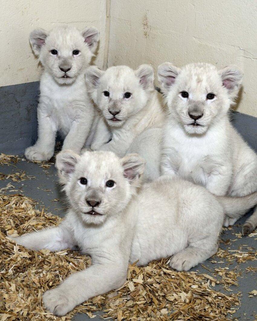 Quatre lionceaux blancs naissent à Toronto comme une lueur d'espoir pour cette espèce.