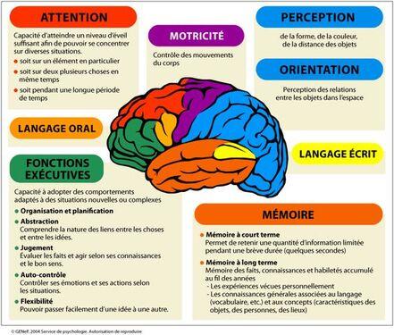 Schéma simplifié des grandes fonctions du cerveau: