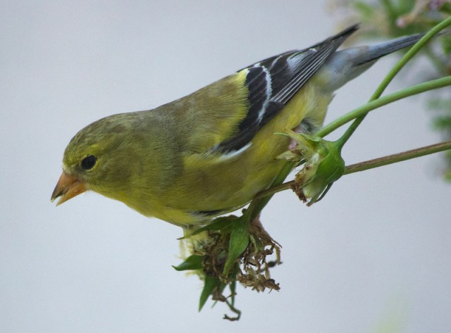 American Goldfinch on Cosmos seed head