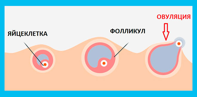 cum să pierdeți greutatea ovulației