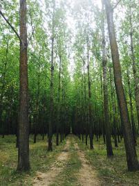 Šuma topole 3
