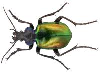 Lepotelka (Calosoma sycophanta)
