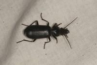 Trčuljak (Carabidae)
