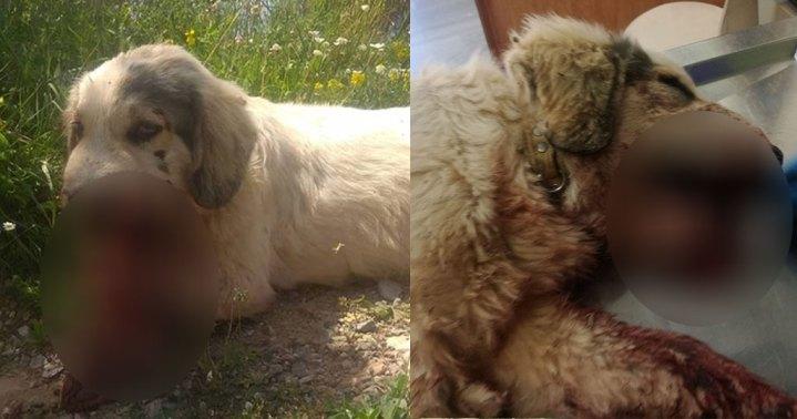 Καλαμάτα: Νεκρός σκύλος από κροτίδες που του έβαλαν στο στόμα