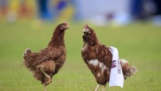 Γ' Εθνική: Υποδοχή με… κότες (!!!) στο Ιωνικός-Προοδευτική