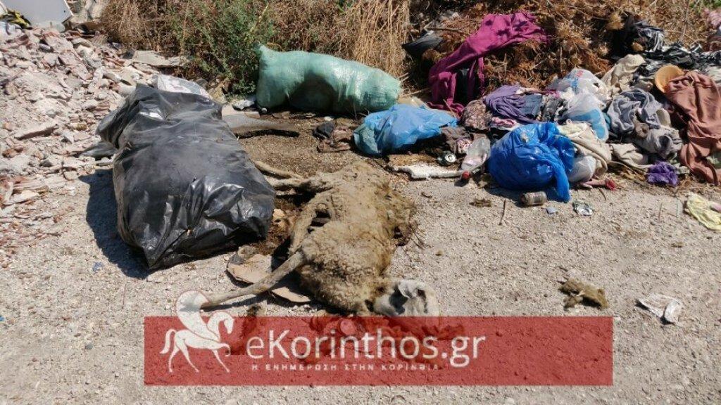 Σοκαριστικό θέαμα : Δεκάδες ψοφιμια σε αυτοσχέδια χωματερή, μια εστία μολυνσης λίγα μέτρα από την Αρχαία Κορινθο