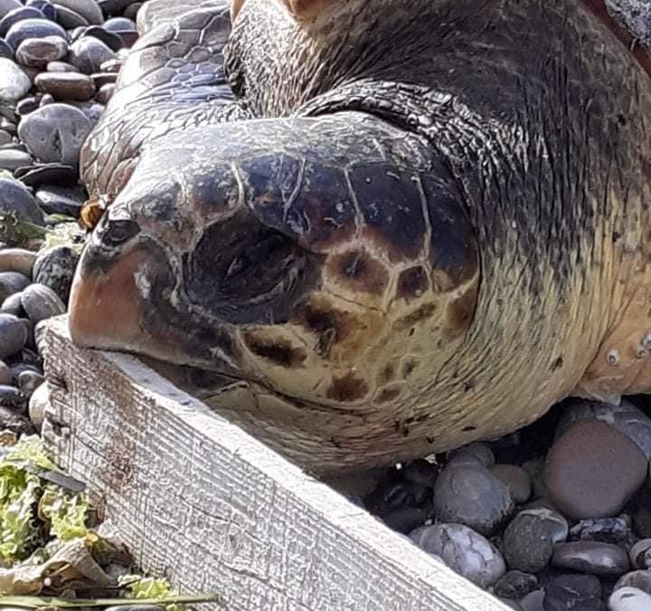 Νεκρή χελώνα Καρέτα Καρέτα στο Ξυλοκαστρο