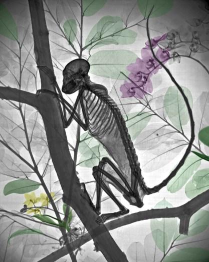 Xray mummified monkey