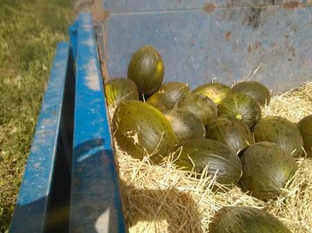 todo-el-cuidado-y-mimo-para-nuestros-vuestros-melones-ekotania