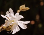 Star Magnolia - Photography