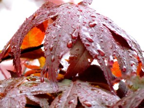Rainy Red Maple Leaf - Photography