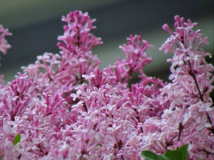 Dwarf Korean Lilac III - Photography